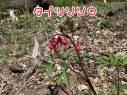 ひびき野の春は花盛り