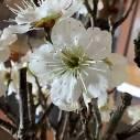 『ひびき野 花便り』「梅の花」