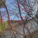 『ひびき野 花便り』 「梅の花紅梅」
